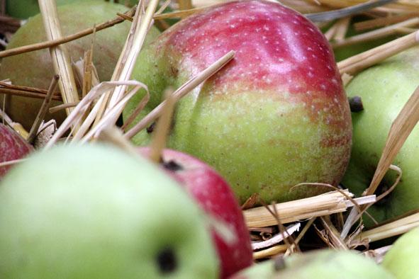 sterappels op stro om te kleuren Welkom bij de Sterregaard